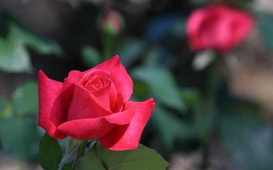 red, роза, natureza