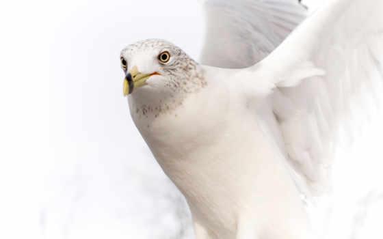 white, голубь, разных, разрешениях, color, февр,