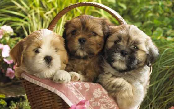 щенки, красивые