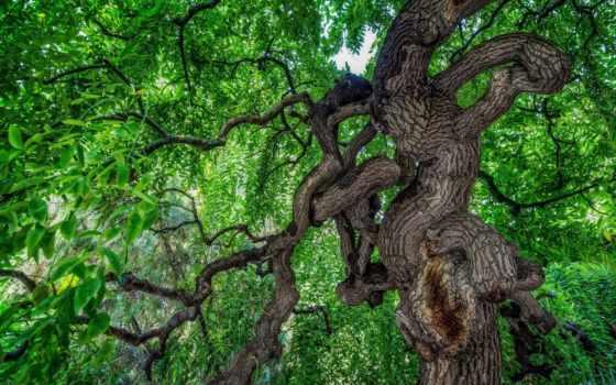 листья, priroda, дерево