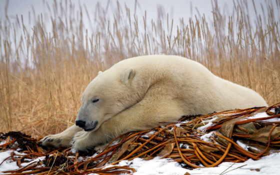 white, медведь, polar, desktop,