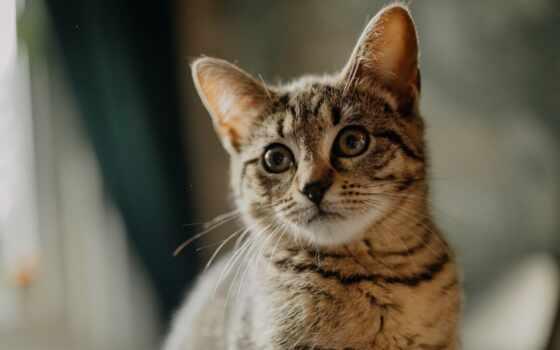 кот, ipad, white, tabby, браун, black, мини, blue, air, красивый