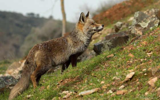 животные, лисы, fox, смешные, цветы, животных, позитивные,