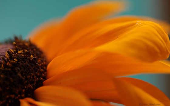 лепестки оранжевый цветок