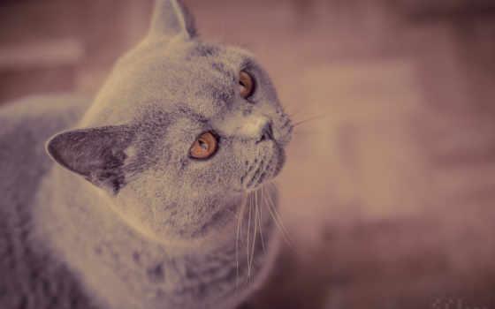 британская, кот, короткошёрстная, кошки,
