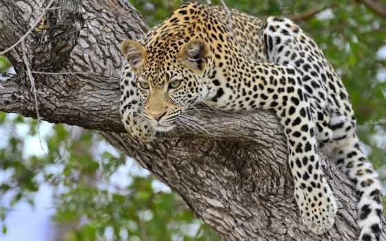 gepard, просмотреть, кошка, большая, дерево, охота, прыжок,