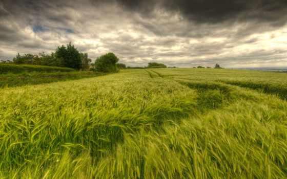 corn, зелене, pole, поле, природа, колоски, зеленеє, зелень, зеленое, плэйкаст,