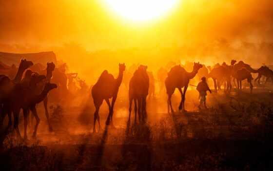 pushkar, fair, mela, camel, shahzodyi, india