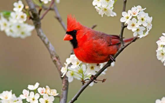 кардинал, птица, красный, птицы, фото, животные, c