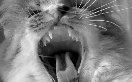 кот, язык, клыки, зубы, чёрно, белая, усы, animals, зевает, зубки, мяу,
