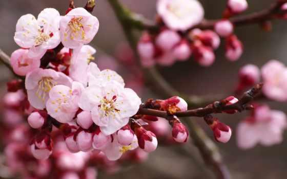 Сакура, цветы, cherry