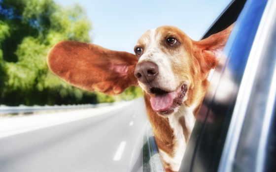 собака, out, car