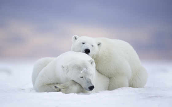 polar, медведь, bears, desktop, free, white,
