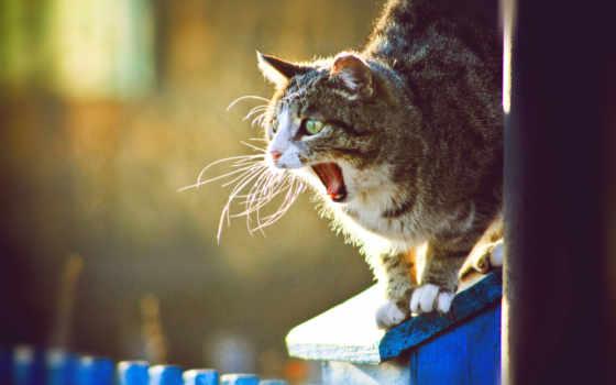 кот, широко, пасть, разинул, зевающий, zhivotnye,
