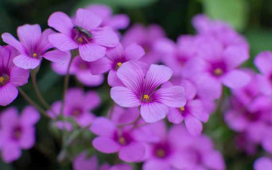 cvety, сиреневые, телефон, размытость, насекомое, цветы, телефона, страница, макро, бесплатные,