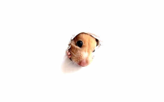 wallpaper, animals, hd, hamsters, wallpapers, the,