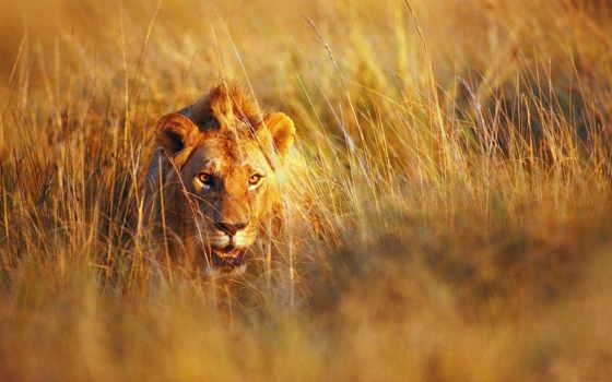 lion, сухая, трава
