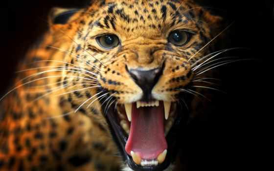леопард, кот, хищник, несмотря, dark, пасть, июнь, black, animal,
