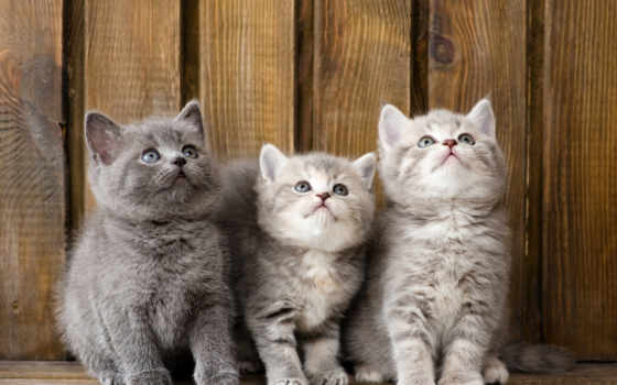котята, красивые, пушистые