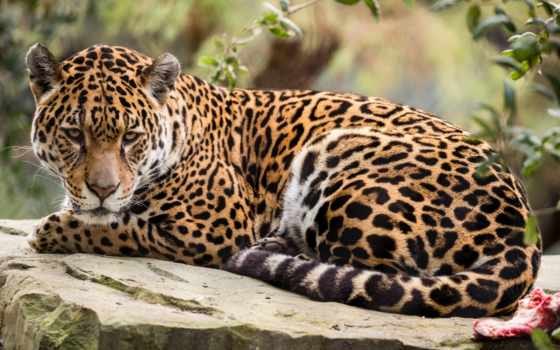 jaguar, хищник, images, ягуары, jaguary, time, фон,