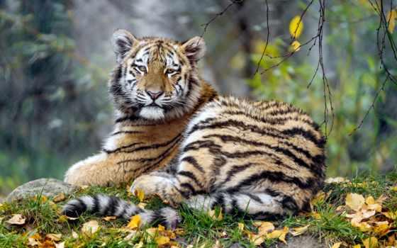 animal, тигр, листва, осень, бок