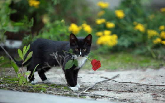 зубах, кот, cvety, роза, positive, тюлень, разное, розочкой, котенка,