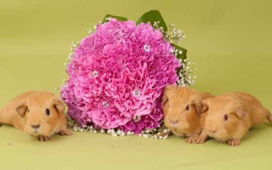 cvety, summer, букет, zhivotnye, свинки, out, морские, inside, стену, свинка, морская,