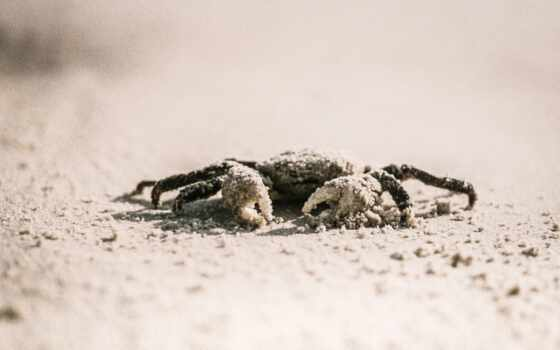 crab, песок, white, браун, animal, море, саймон, кожура, selective, focus, life