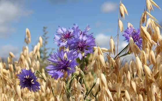 поле, васильки, summer, небо, овёс,