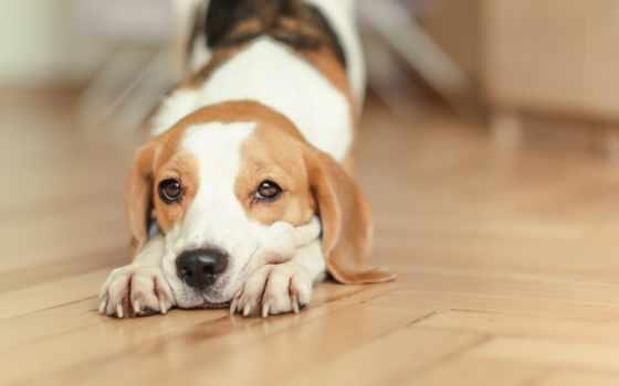 собаки, грустные, beagle, zhivotnye, загружено, уже, коллекция, лучшая,