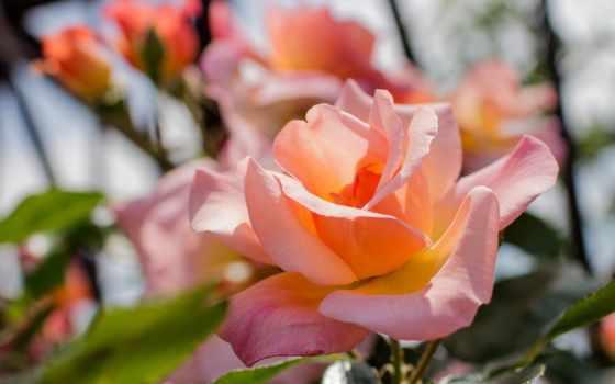 роза, макро, desktop