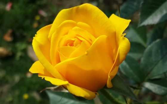 flowers, роза, цветы, yellow, free, roses, photos,