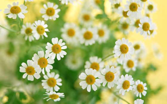cvety, ромашки, растения
