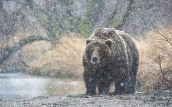 медведь, снег, камчатка, медведи,