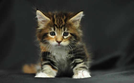 пушистый, котенок, sit, striped, tricolor, small, кот