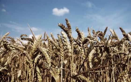 поле, пшеница, небо