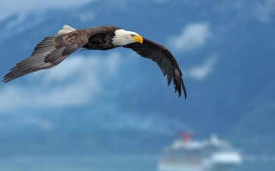орлан, крылья, небо
