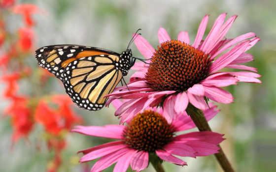 бабочки, бабочка, эхинацеи