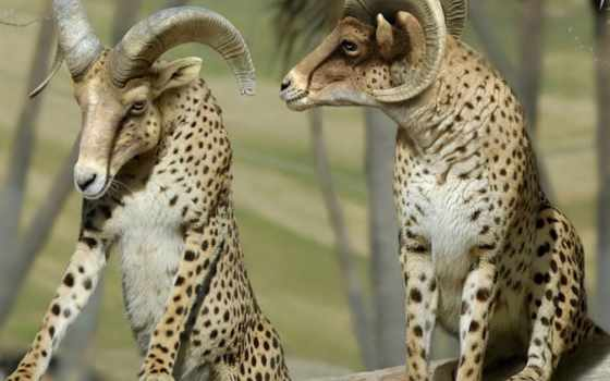 гепард, lion, hybrid