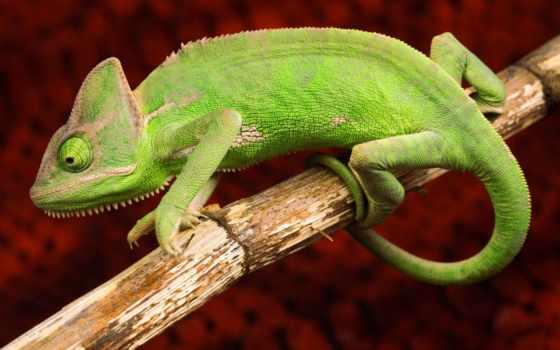 chameleon, zhivotnye, сидит, ветке, окрас, reptile, ящер, зелёный,