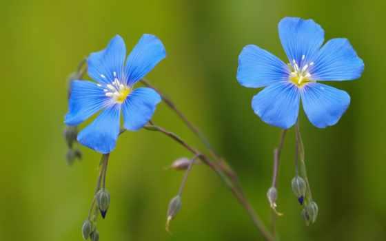 cvety, голубые, лен, бутоны, синие, красивые,
