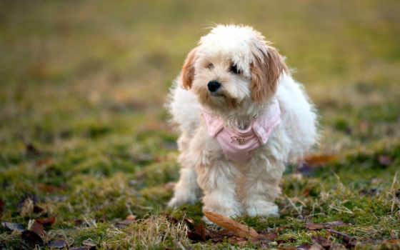 гаванский, бишон, микс, собака, мяч, собаки, best, pups,