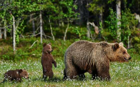 медведь, animal, заставка, цветы, природа, лес, животные, ноутбук