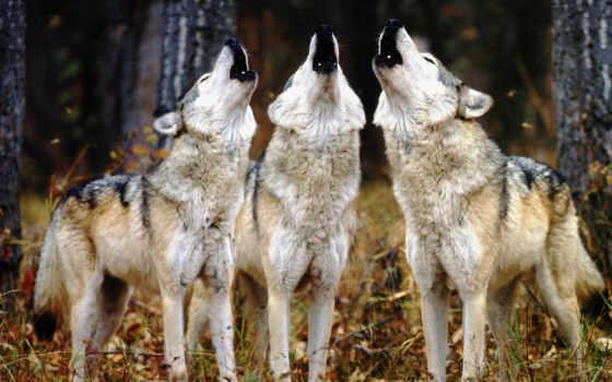 волк, wolves, серый