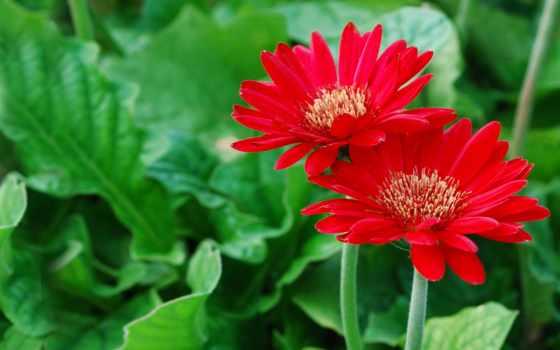 герберы, petals, зелёный