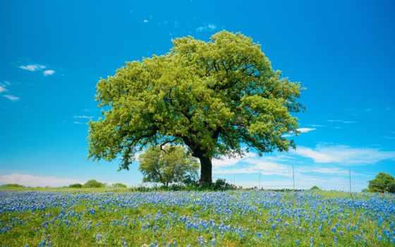 дерево, природа, цветов, поле, синих, одинокое, небо,