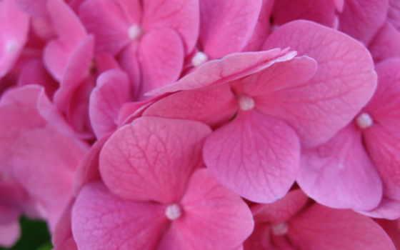 cvety, телефон, гортензия, цветы, розовый, розы, макро, фиолетовые, нежные, большой,