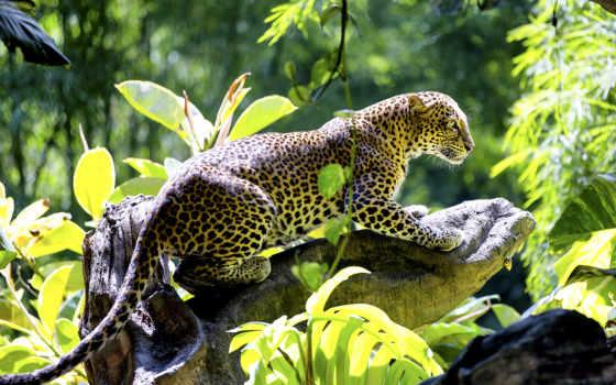 кот, леопард, jungle, wild, cats, black, браун, jaguar