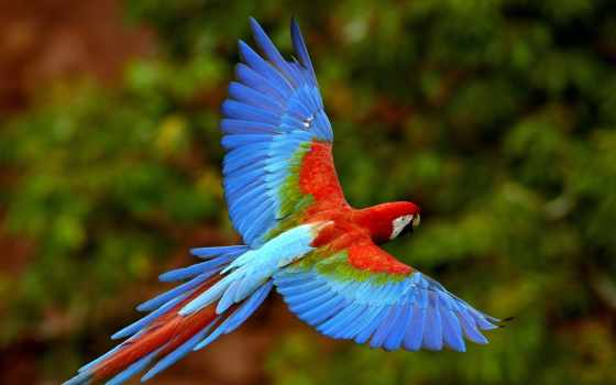 flying, parrot, wallpapers, wallpaper, hd, downloa