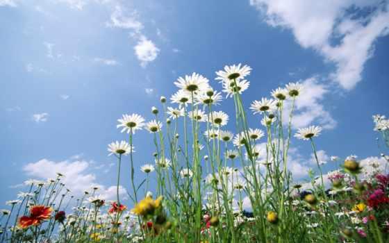 цветы, flowers, поле
